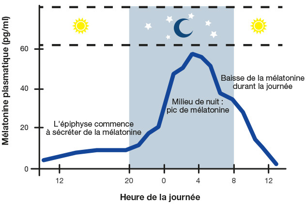 schéma de la diffusion de la mélatonine sur une période de 24 heures